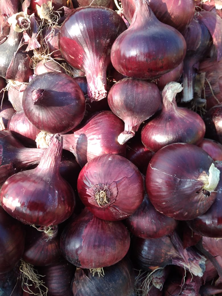 32511 - Offer 1000 Ton Onion Red Egypt